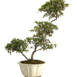 bonsai come si crea