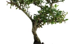 e-commerce di bonsai